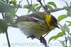 Cape May Warbler (b2732)