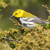 Black-throated Green Warbler, Prince Edward Point National Wildlife Area, Ontario