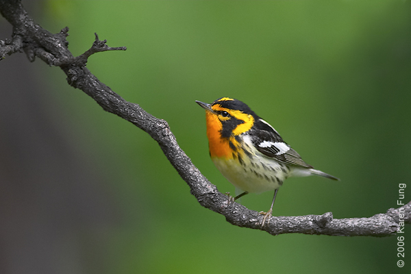 Blackburnian Warbler in Central Park