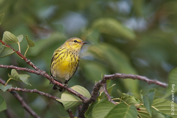 Cape May Warbler in Central Park