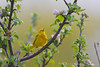 Yellow Warbler<br /> Finger Lakes National Forest, NY
