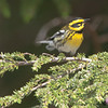 British Columbia, Hadia Gwaii, Naikoon Provincial Park, Townsend's warbler: Dendroica townsendi