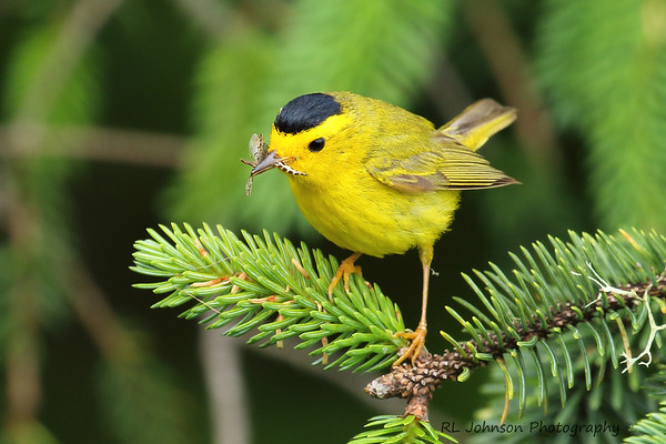 Wilson's Warbler - Cape Meares, OR - July 2017
