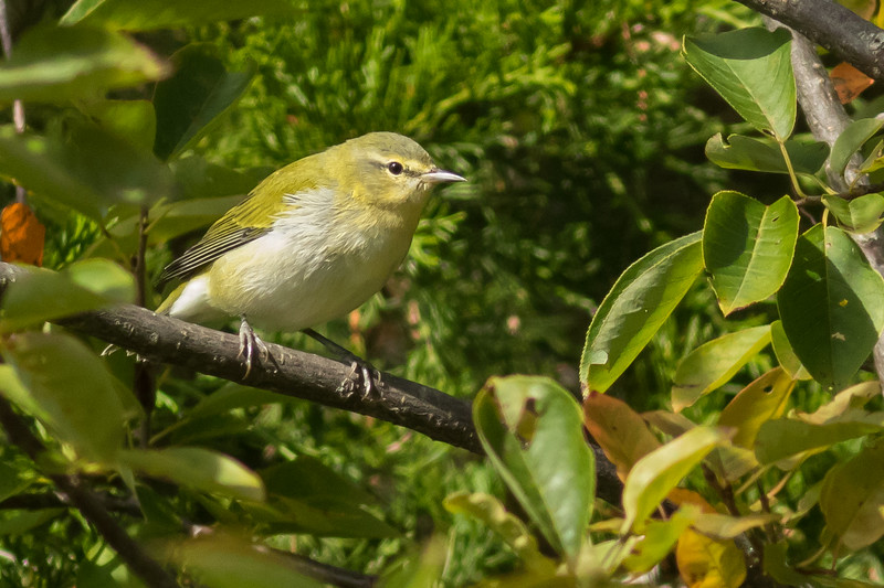 Tennessee Warbler, Prince Edward Point National Wildlife Area, Ontario