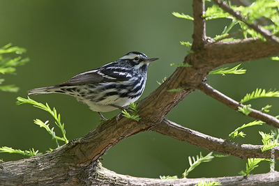 May 7th: Black-and-white Warbler in Central Park