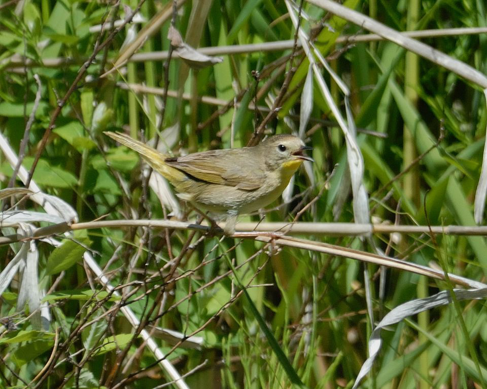 Female Common Yellowthroat at Conboy NWR