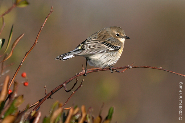 Yellow-rumped Warbler at Jamaica Bay WR