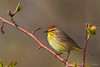 Palm Warbler<br /> Ithaca, NY