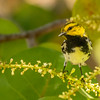 Black-throated Green Warbler, Dry Tortugas National Park, Florida