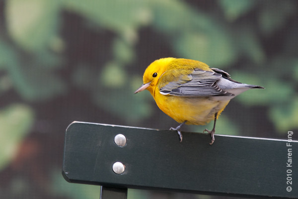 22 Oct: Prothonotary Warbler on one of the folding chairs in front of the New York Public Library.