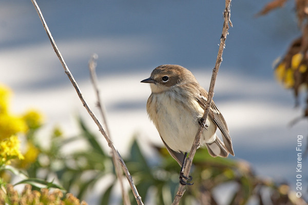 17 Oct: Yellow-rumped Warbler at Jones Beach
