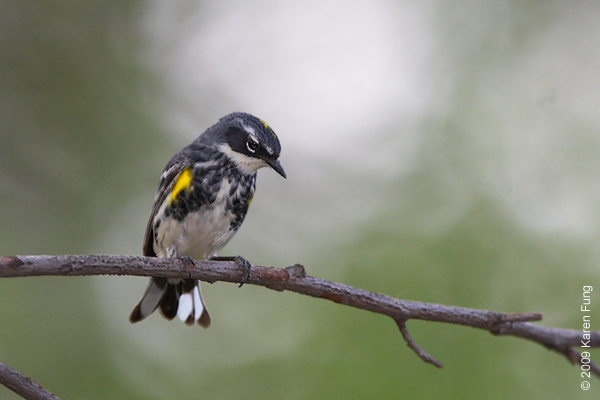 April 28th: Yellow-rumped Warbler (male) in Central Park
