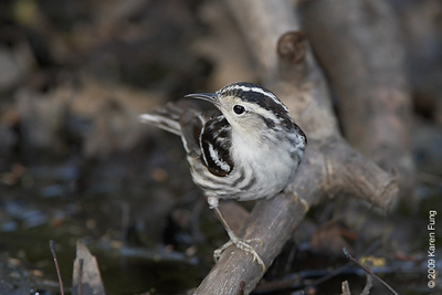 April 28th: Black-and-white Warbler (female) in Central Park
