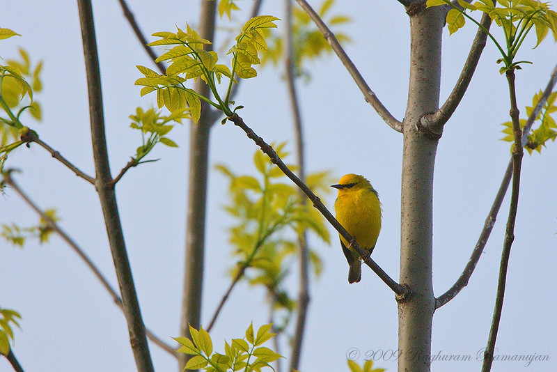 Blue-winged Warbler<br /> Finger Lakes National Forest, NY
