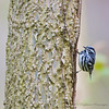 Black-and-white Warbler<br /> Point Pelee National Park, ON