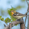 Blackburnian Warbler (female), Prince Edward Point National Wildlife Area, Ontario
