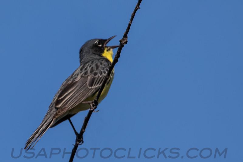 Kirtland's Warbler (b2764)
