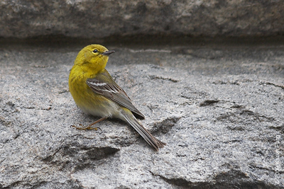 April 7th:  Pine Warbler posing for me in Central Park (Belvedere Castle)