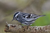 Blabk And White Warbler (b2681)