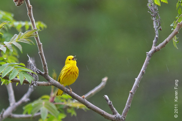 14 May: Yellow Warbler at Sterling Forest, singing in the rain.