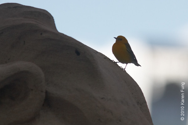 22 Oct: Prothonotary Warbler pausing briefly on Fortitude's head.