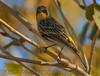Yellow Rumped Warbler (b2883)