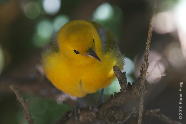 22 Oct: Prothonotary Warbler in front of the New York Public Library.