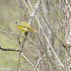 Mud Lake, Nashville warbler: Vermivora ruficapilla<br /> This leucistic bird is showing its often less obvious chestnut crown patch.