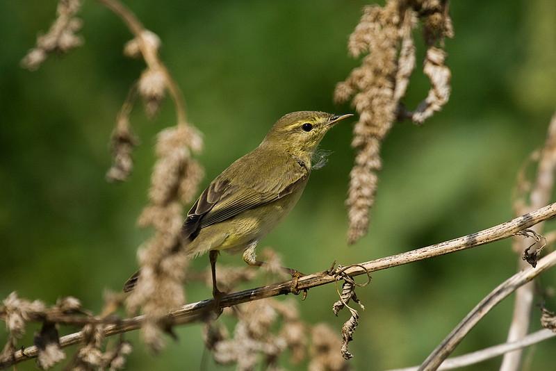 willow warbler עלווית אפורה