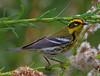 Townsend's Warbler (b2851)