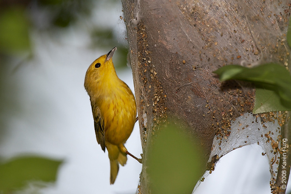 May 30th: Yellow Warbler visiting a tent caterpillar nest at the Celery Farm in Allendale, NJ
