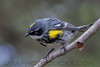 Yellow Rumped Warbler (b2885)