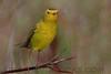 Wilson's  Warbler (b2863)