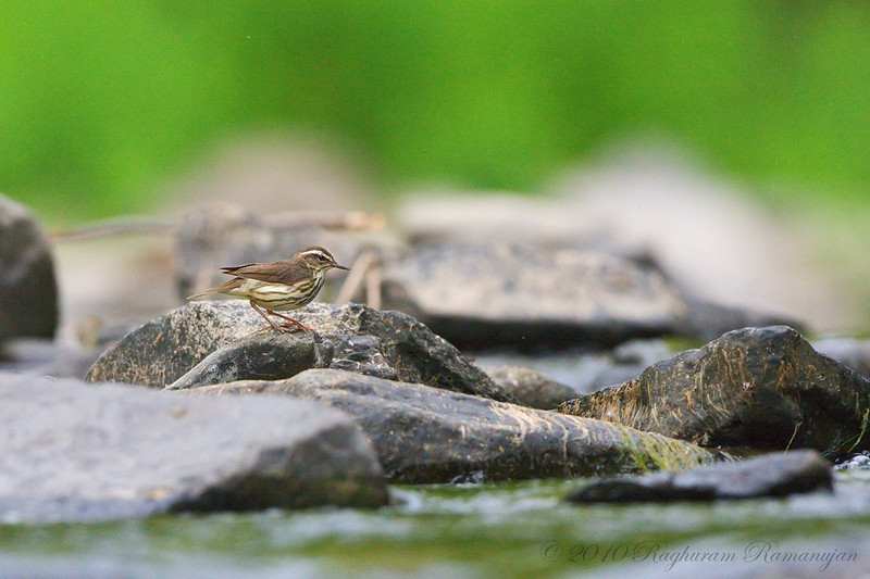 Louisiana Waterthrush<br /> Ithaca, NY