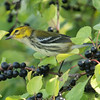 black-throated green warbler: Dendroica virens, female, immature: juvenile, Shirley's Bay Dyke