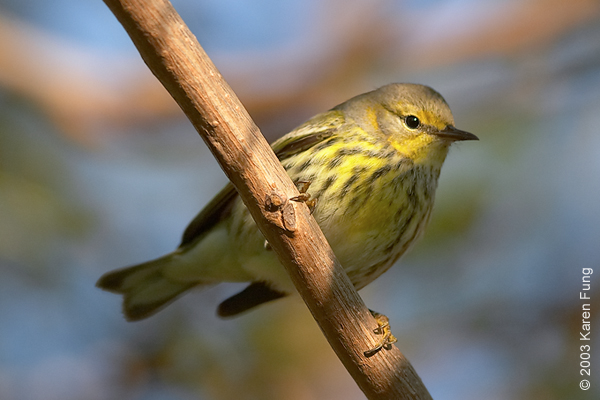 Cape May Warbler in Wagner Park