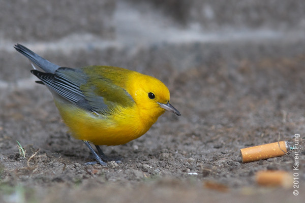 22 Oct: Prothonotary Warbler in front of the New York Public Library in midtown Manhattan.  Many thanks to Matthew Rymkiewicz for finding this rarity yesterday and for getting the word out.