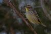 Palm Warbler (b2826)