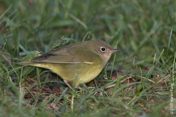 Connecticut Warbler in Central Park, just east of Sparrow Ridge on 9/17/07.