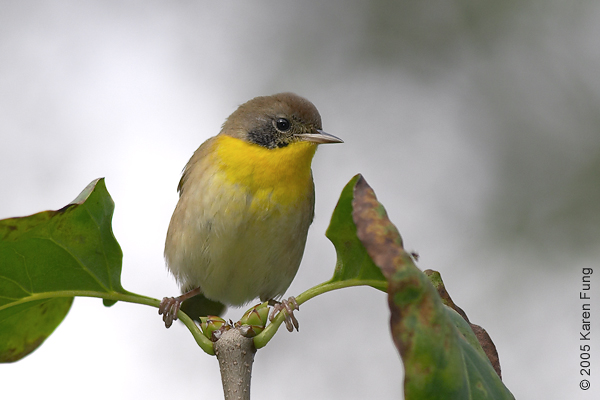 Common Yellowthroat in the Conservatory Garden of Central Park