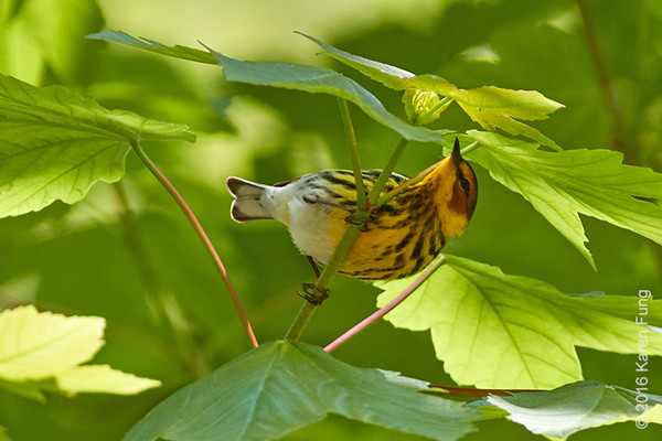 8 May: Cape May Warbler  in Central Park