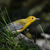 Prothonatrary Warbler