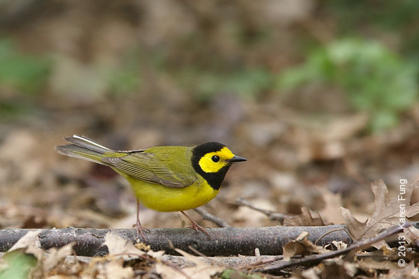 18 May: Hooded Warbler in Central Park