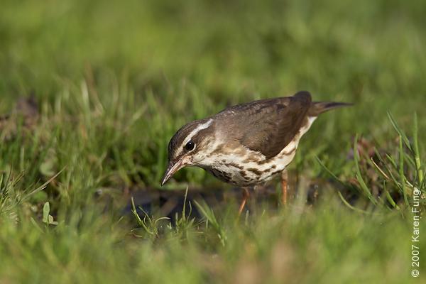 Louisiana Waterthrush in Central Park (Maintenance Meadow)