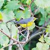 canada warbler:Cardellina canadensis, Robert O. Pickard Environmental Centre