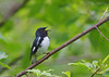 Black-throated Blue Warbler<br /> Danby State Forest, NY