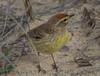 Palm Warbler (b2825)