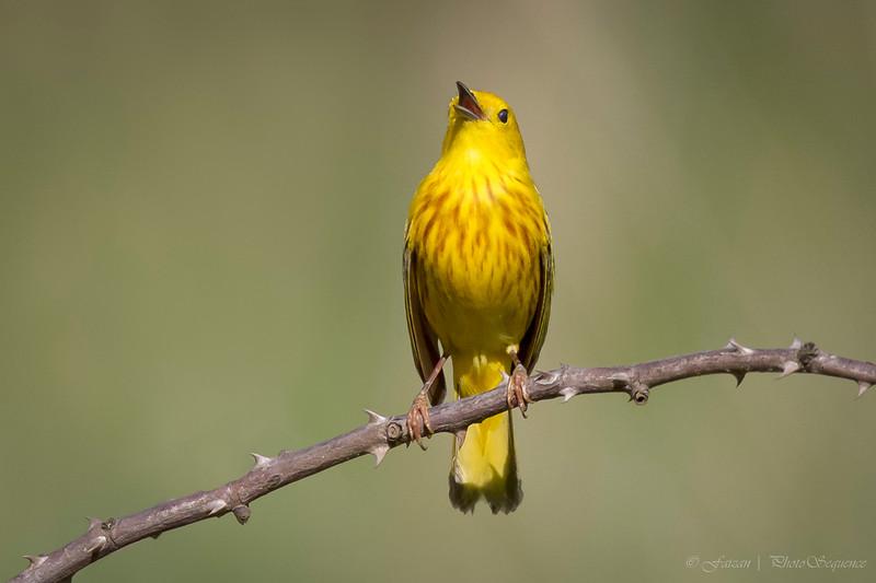 """Yellow warbler """"singing"""""""