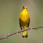 "Yellow warbler ""singing"""