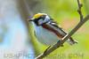 Chestnut Sided Warbler (b2745)
